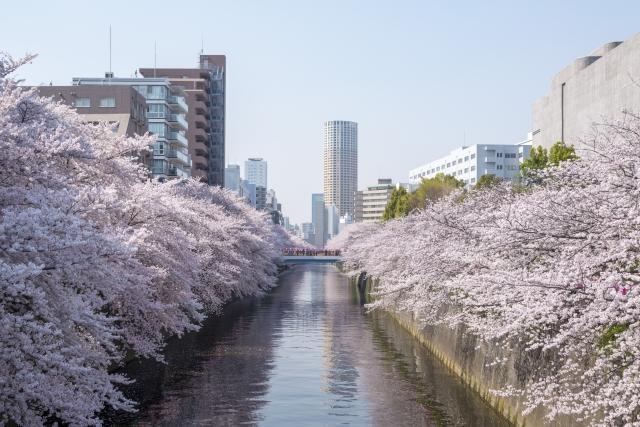 目黒川の桜!おすすめルート・スポット・お花見クルーズについて紹介します