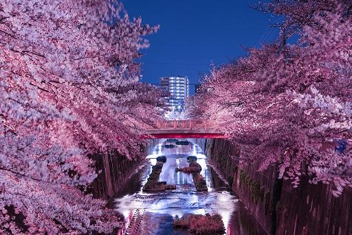 目黒川桜祭りの混雑状況・ライトアップ情報・座れる場所を紹介します