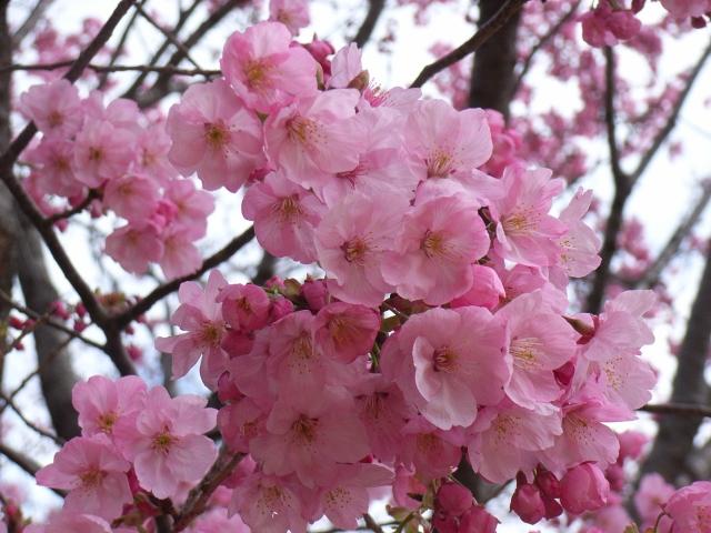 新宿御苑は桜の名所!場所取り・ライトアップ・混雑情報を解説
