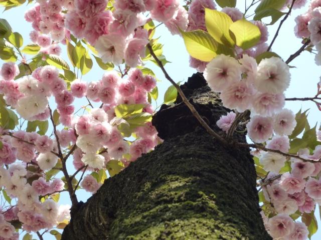 新宿御苑の桜!おすすめの入口は何門?アクセス・駐車場も解説